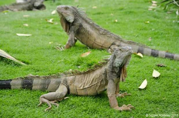 Iguana Park, Guayaquil