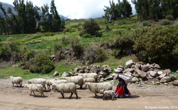Sheep herding in Colca Canyon