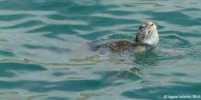 Turtle near Los Organos, just out of Mancora