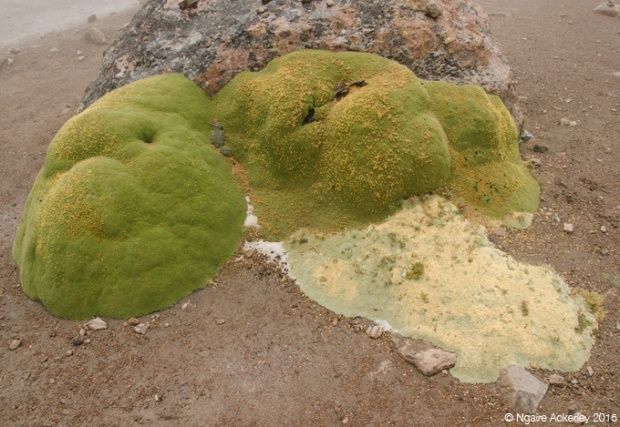 Yareta - rock eating plant