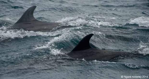 Dolphins near Kicker Rock