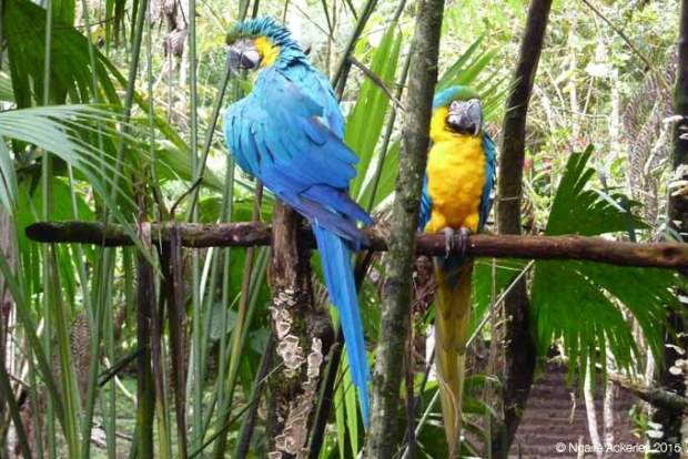 Macaws (we built them a new temporary enclosure)