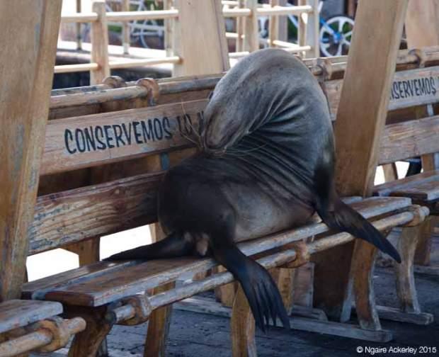 Sea lion on the pier at San Cristobal