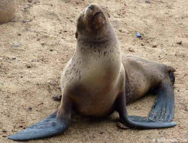 Sea lion in San Cristobal