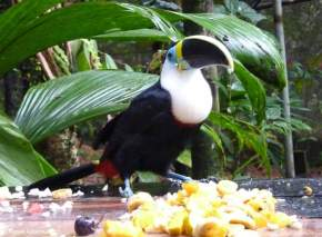 Toucan Feeding time