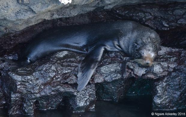Big angry fur sea lion