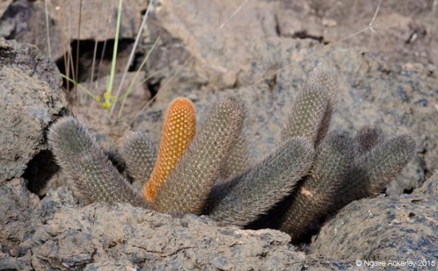 Cactus amongst rocks on Isabela Island (Western side)