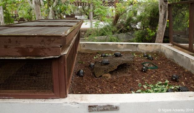 Baby Tortoises, Charles Darwin Breeding Centre