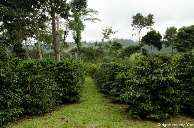 Coffee Plantation, Salento