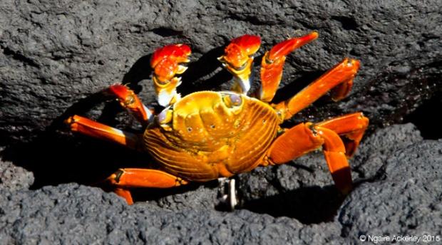 Crab on Fernandina Island