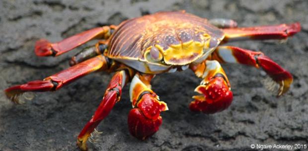 Crab, Santiago Island