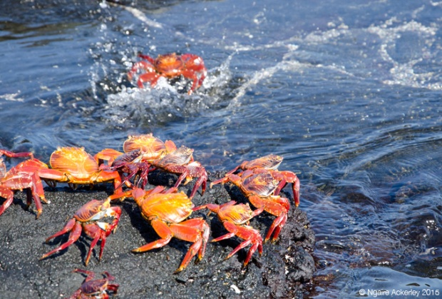 Crabs taking turns jumping
