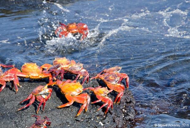 Crabs taking turns jumping