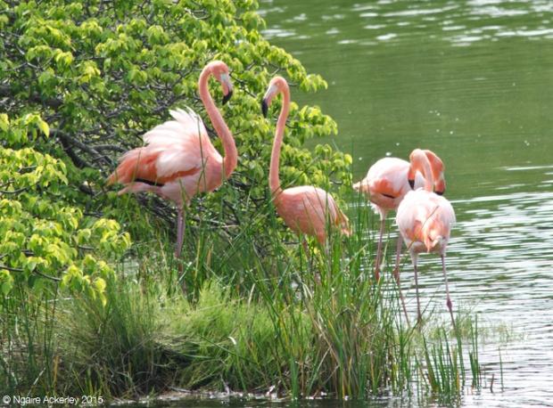 Flamingos, Isabela Island