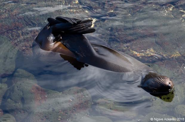 Fur sea lion, Santiago