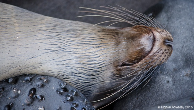 Fur sea lion sleeping