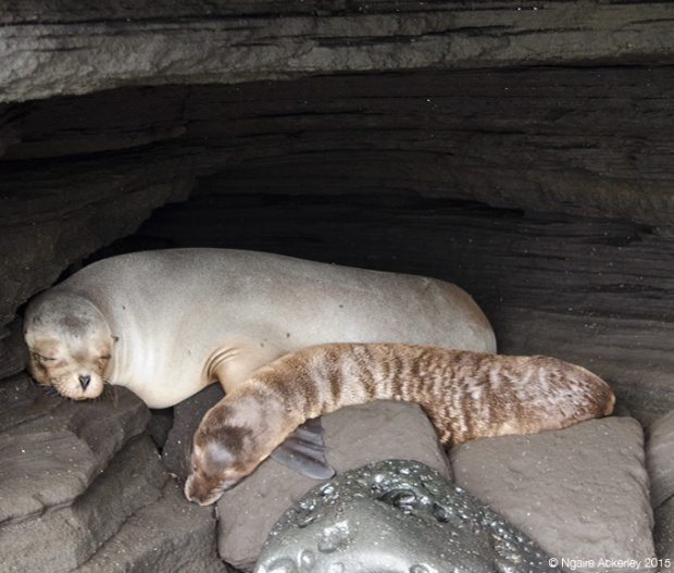 Fur sea lions sleeping