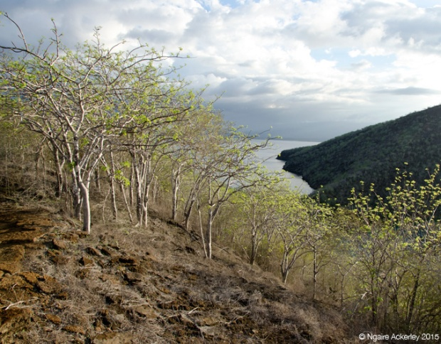 Holy trees at Tagus Cove, Isabela Island