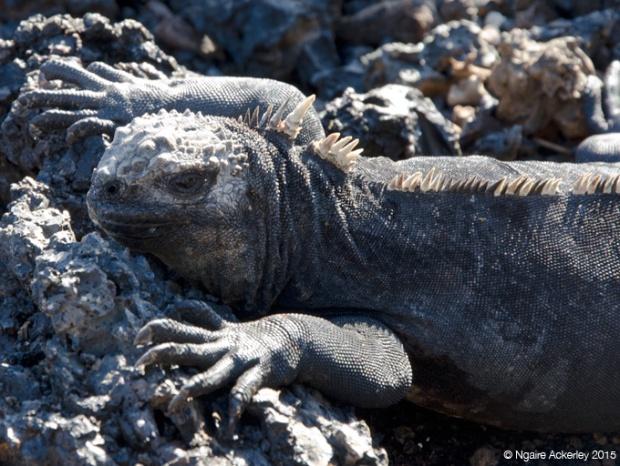 Marine Iguanas on Islote Tinoreras