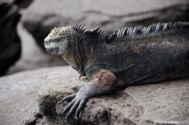 Marine Iguana, Santiago