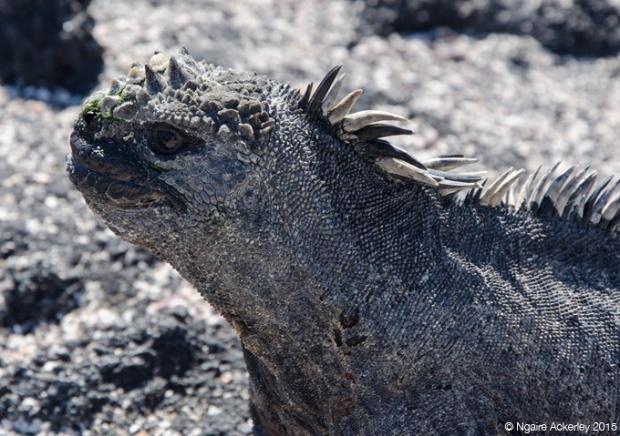 Marine Iguana on Fernandina Island