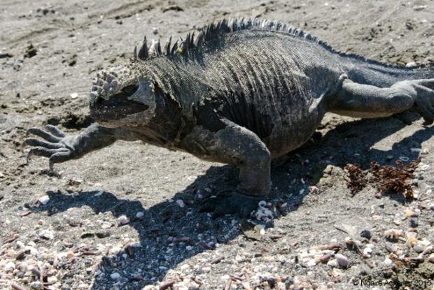 Marine Iguana walking, Fernandina Island