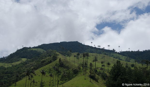 Palms in Valle de Cocora