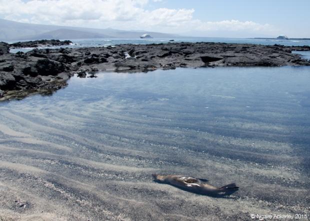 Sea lion relaxing in the water on Fernandina Island