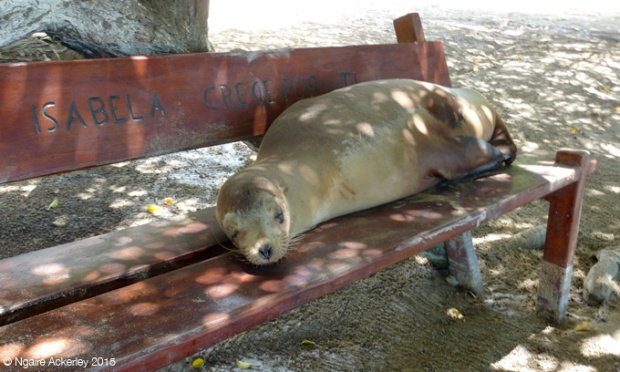 Token sea lion on a bench at the beach on Isabela