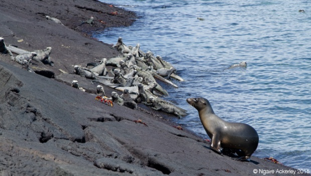 Sea lion chilling with the marine iguanas (they actually like to play with them)