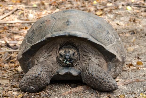 Tortoise (free to roam), Isabela Island