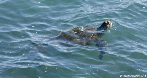 Sea turtle in the water near Fernandina Island