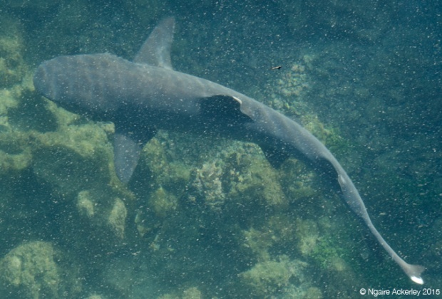 White tipped shark on Islote Tinoreras