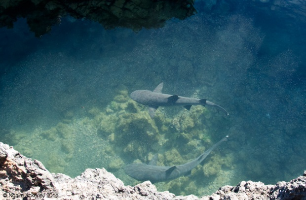 White tipped sharks on Islote Tinoreras