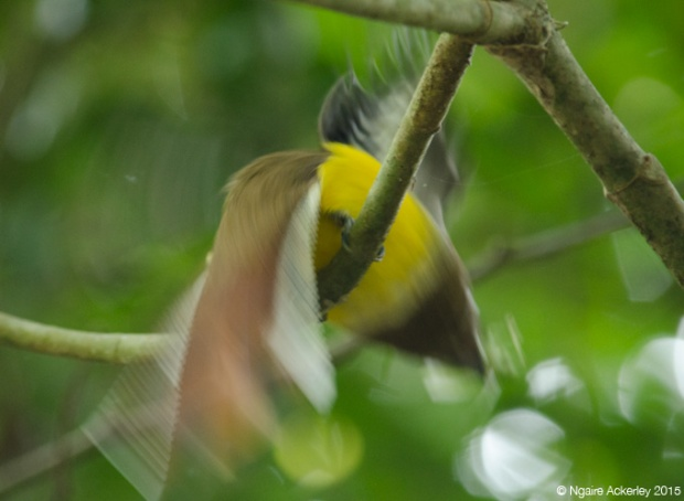 Bird in motion, Manuel Antonio National Park
