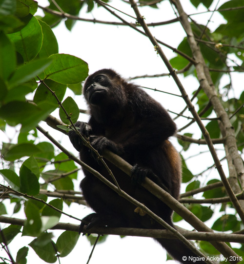 Howler monkey, Cahuita National Park