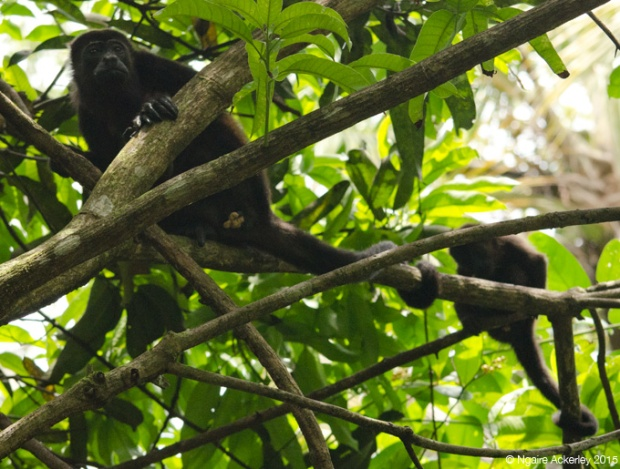 Howler monkeys in Cahuita National Park, Costa Rica