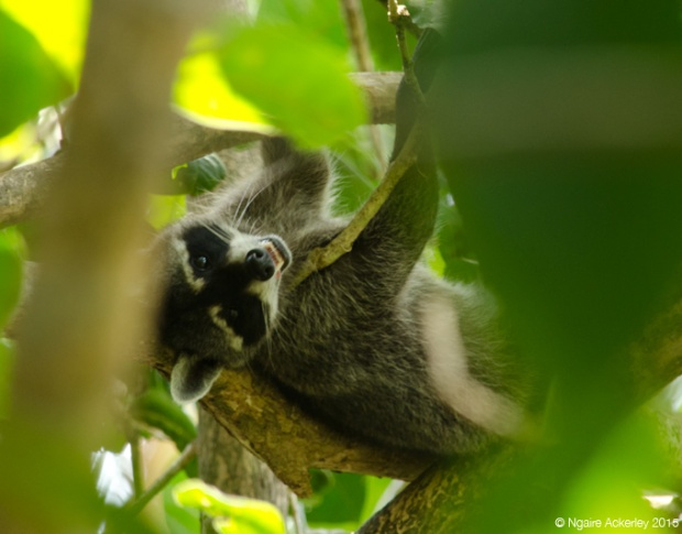 Racoon in Manuel Antonio National Park