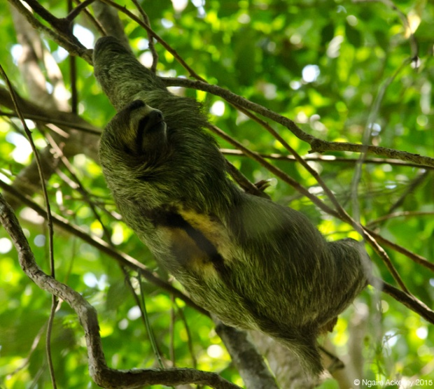 Sloth in Manuel Antonio National Park
