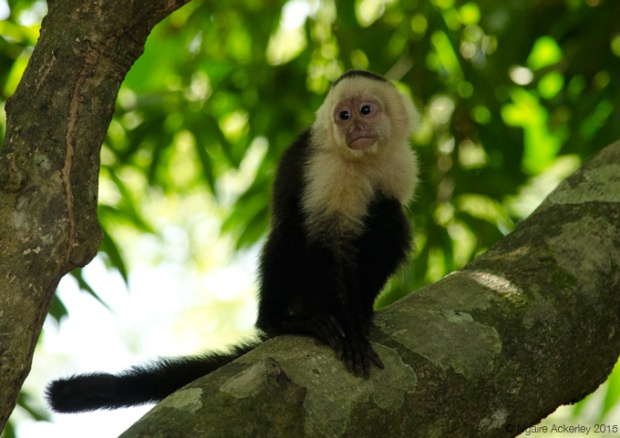 White Headed Capuchin Monkey in Manuel Antonio National Park