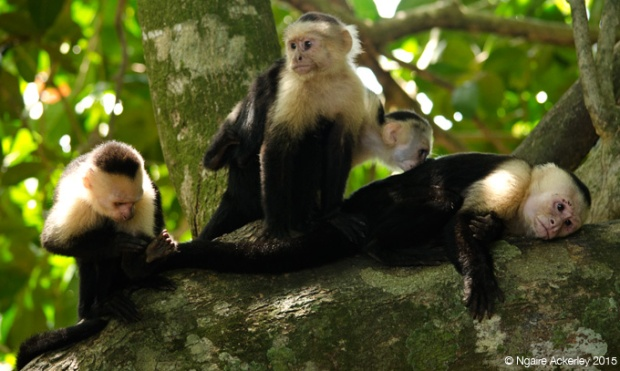 Group of White Headed Capuchin Monkeys in Manuel Antonio National Park