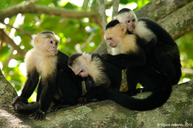 White headed Capuchin Monkeys in Manuel Antonio National Park, Costa Rica