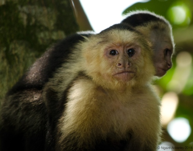 White Headed Capuchin Monkey and baby