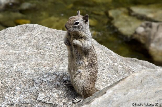 Ground Squirrel, Yosemite National Park