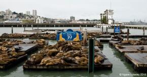 Pier 39 sealions