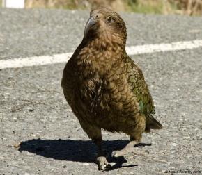 New Zealand native bird - the Kea