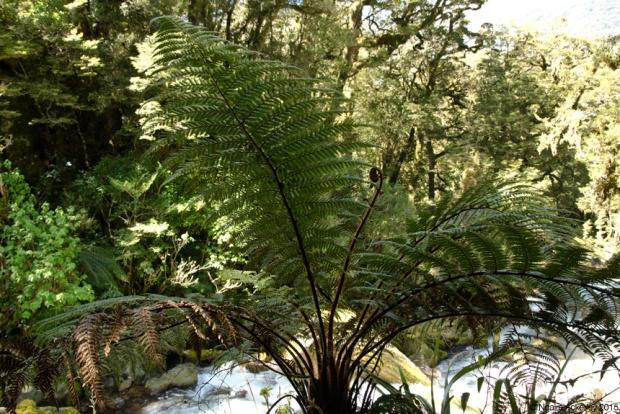 Ponga tree