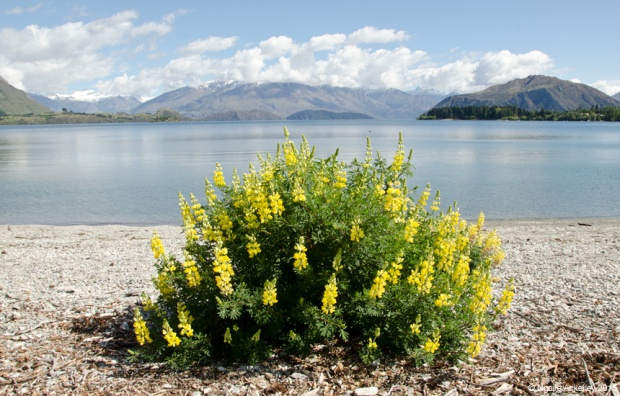 Flowers at Lake Wanaka