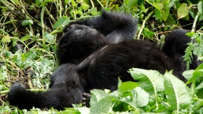 Gorilla sleeping, Rwanda