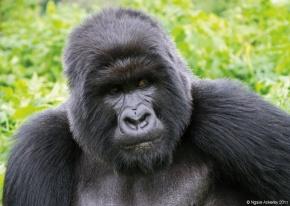 Silverback Gorillas, Rwanda